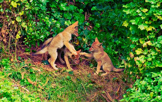 ggp_coyote_pups.jpg