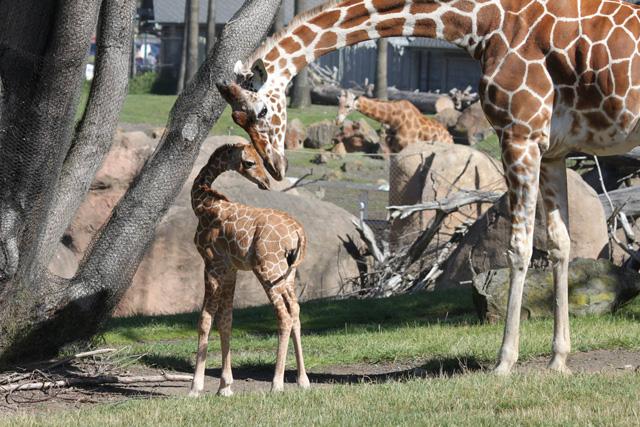 giraffe_savanna.jpg