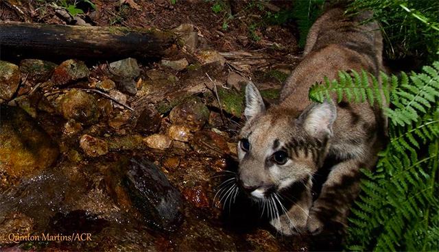 mountain-lion-kittens-napa-2.jpg
