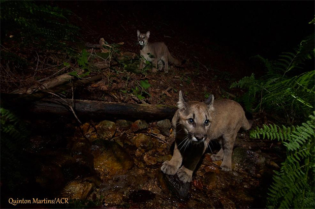 mountain-lion-kittens-napa-3.jpg