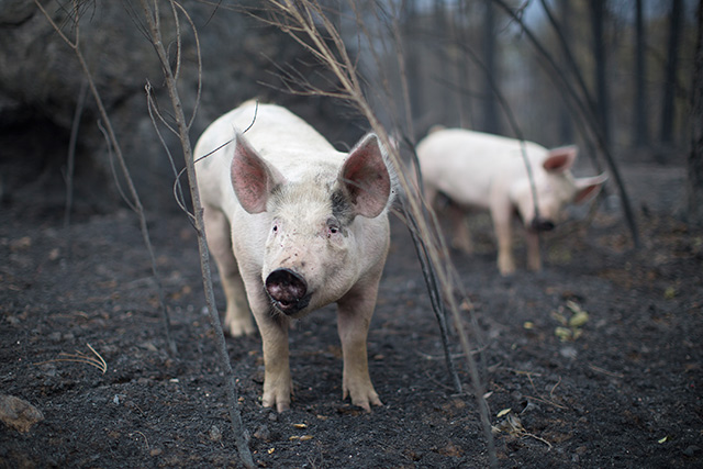 pigs-valley-fire.jpg