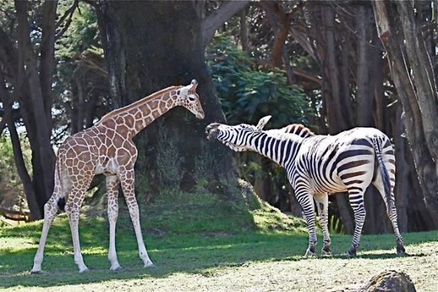 giraffe_zebra.jpg.jpg
