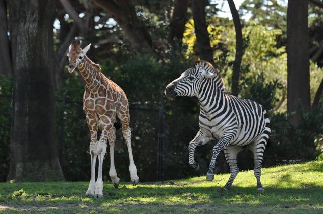 giraffe_zebra_2.jpg