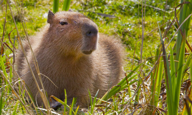 sf_zoo_capybara.jpg