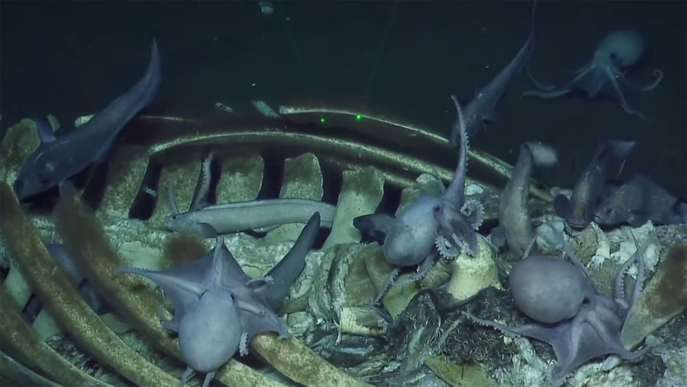 Video: Watch a Menagerie of Creatures Feasting on a Whale Carcass Near Monterey Bay