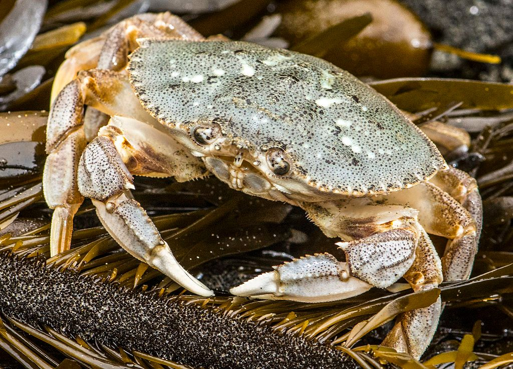 Ocean Acidification Is Literally Dissolving The Shells Of Dungeness Crabs - SFist