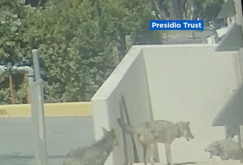 Video: Coyotes Battle for Dominance in the Presidio, Certain Trail Sections Off-Limits to Dogs