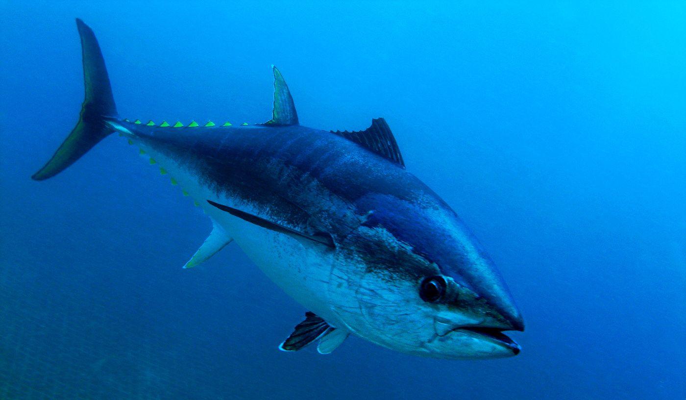 Giant Bluefin Tuna Are Showing Up Near Half Moon Bay, Thrilling Sport Fishermen