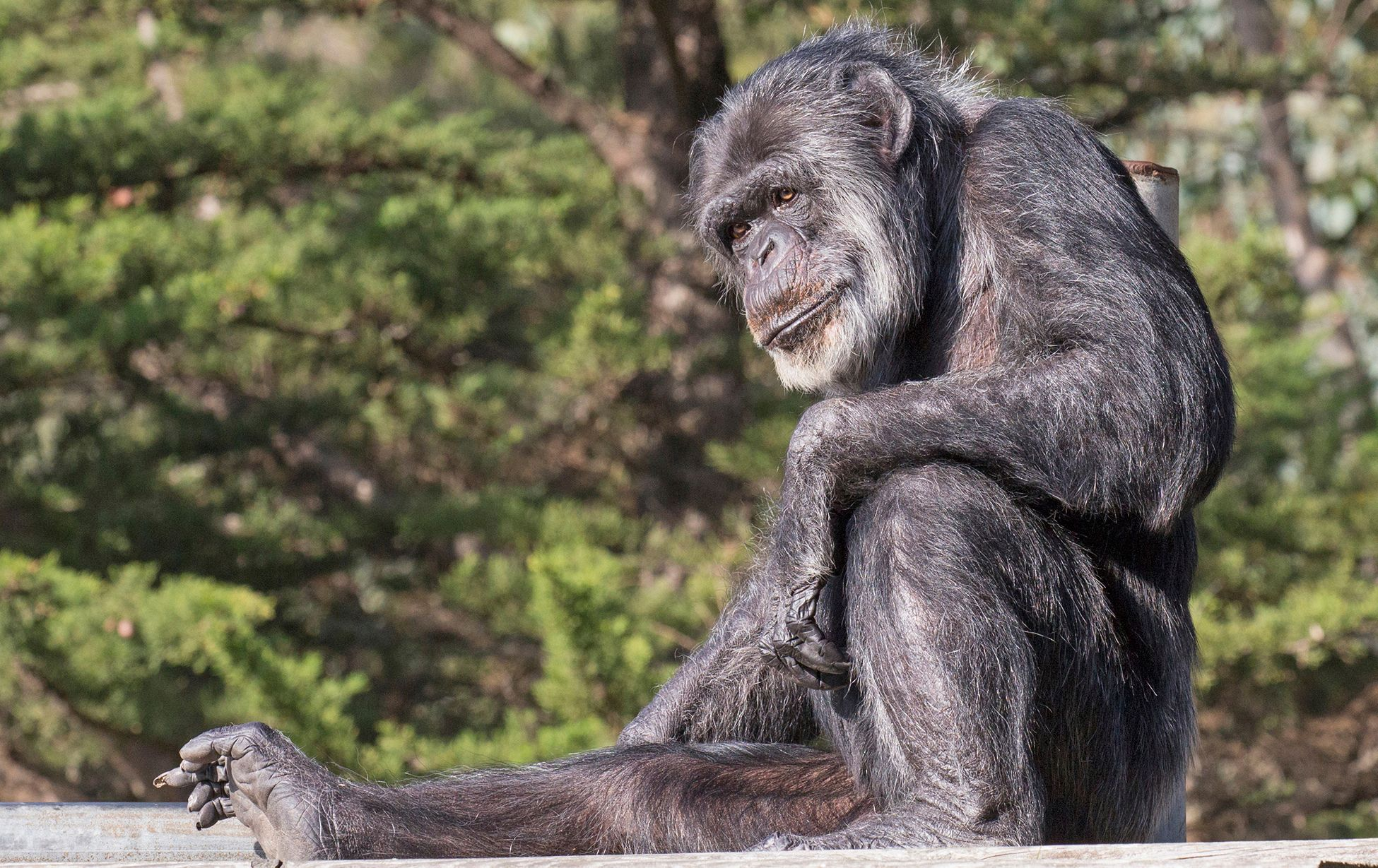 Oldest Chimpanzee in North America Dies at San Francisco Zoo