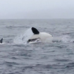 Video: Killer Whales Attack Gray Whale Calf Off Sonoma Coast As Mother Tries To Defend It