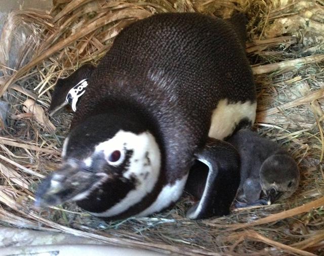 sfzoo_penguin.jpg