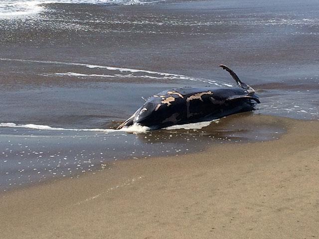 mammal-beaching-3.jpg
