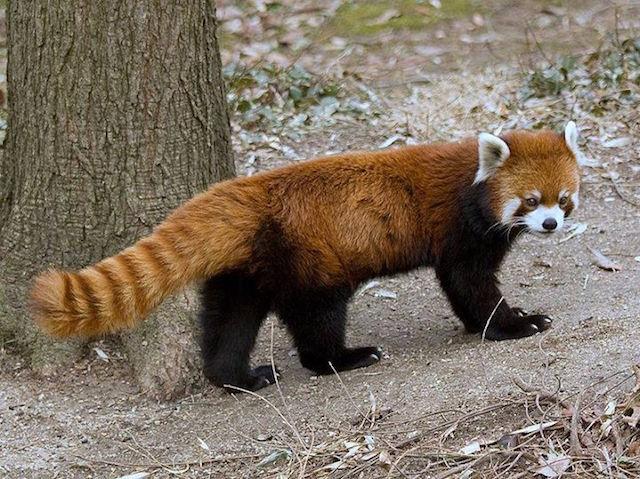 Masala, la lady panda rosso scappata dallo zoo di Eureka (California)